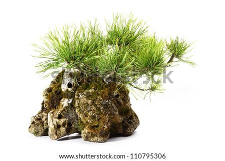 pine with branches and leaves in the rock