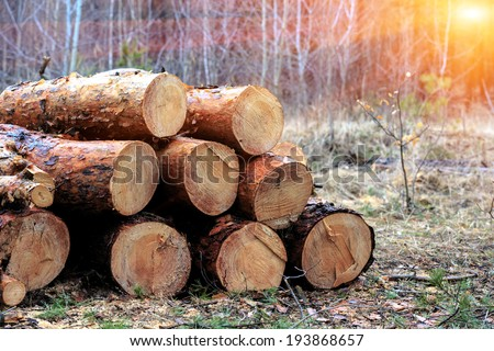 pine wood logs in forest
