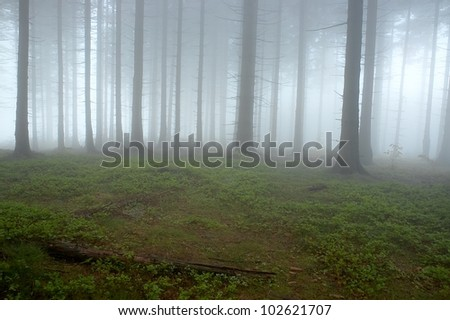 Pine - wood with fog in backcloth.