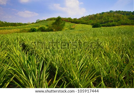 Pineapple farm , fruits field with beautiful sky - stock photo