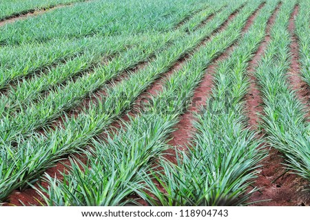 Pineapple field showing the row of plants in the countryside of Panama