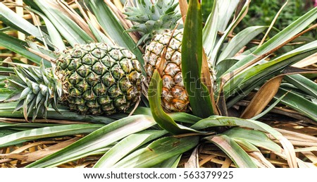 Pineapple fruit fresh harvest from the orchard. #563379925