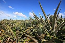 Pineapple garden at Rayong Thailand15