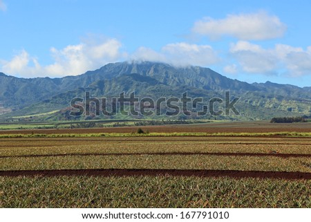 Pineapple plantation in central Oahu, Hawaii