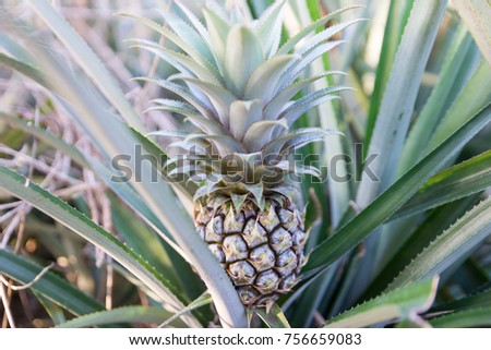 Pineapple plantation in North Thailand.  #756659083