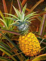 Pineapple tree in Hawaii
