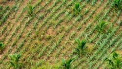Pineapples seedlings intercropped with young Coconut trees at a hilly plantation with rich volcanic soil in Tagaytay, Cavite, Philippines.