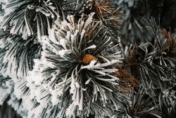 Pinecone in a long needle evergreen tree covered in ice and snow.