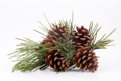 Pinecone isolated on the white background