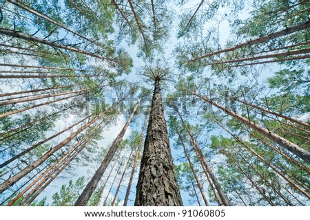 Pines in the forest - stock photo