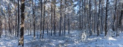 pinetree forest in the winter