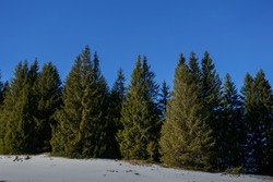 pinetrees and beautiful blue sky while hiking in the winter and mountains