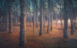 Pinewood forest at sunset, Tombolo di Marina di Cecina, Maremma, Tuscany, Italy Europe.