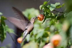 Pingara, chilean Giant hummingbird on an orange abutilon flower at garden