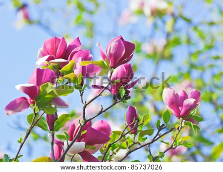 Pink abloom magnolia flower in sunny spring day in front of blue sky