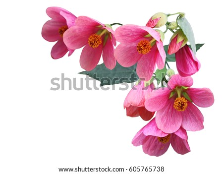 Pink Abutilon hybridum  Plarlour maple flower isolated on white background #605765738