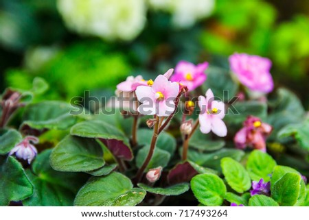 Pink African violet with blur background. #717493264