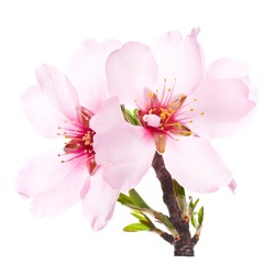 pink almond blossoms on a branch close-up. isolated on white background