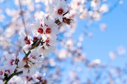 pink almond tree bloom over blue sky