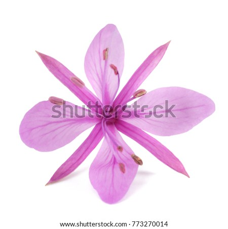 Pink Alpine willowherb flower isolated on white #773270014