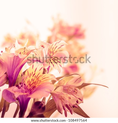 Pink alstroemeria isolated on white background closeup