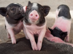 Pink and black pigs kissing showing love and friendship in the farm