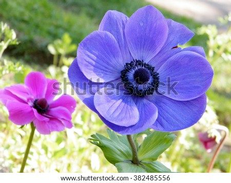 Pink and blue Crown Anemone flowers in park in Ramat Gan, Israe