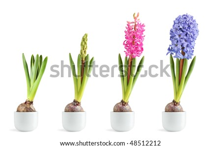Pink and blue hyacinth in different stages of blooming