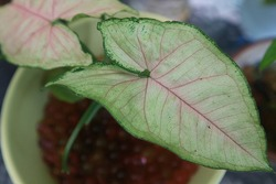 Pink and green leaves of Syngonium podophyllum or white butterfly or arrowhead plant, fade color.  Indoor garden plant. Air purifier plant, close up.