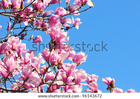 Pink and lavender magnolia blossoms on a magnolia tree against a beautiful blue sky