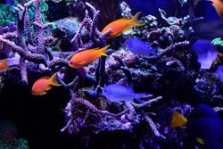 Pink and orage reef fish in aquarium. Sea goldie, Pseudanthias squamipinnis, also known as the lyretail coralfish, lyretail anthias and scalefin anthias