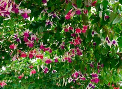 Pink and purple Fuchsia blossom ,beautiful spring flower with green leaves at spring or summer season.