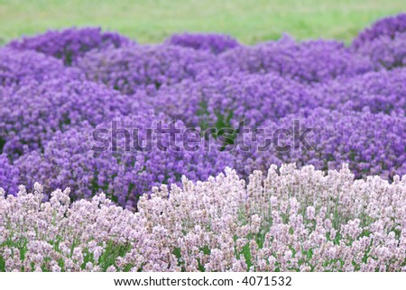Pink and Purple Lavender