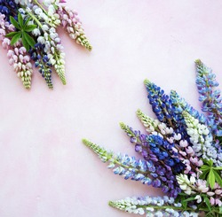 Pink and purple lupine flowers border on a pink concrete background