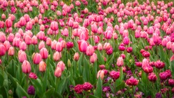 Pink and Purple Tulips in Spring at the Floriade Festival in Canberra, Australian Capital Territory, Australia.