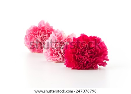 pink and red carnations flower on white background #247078798
