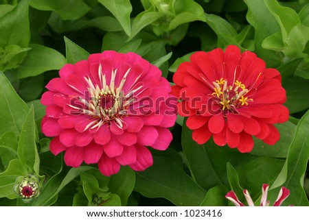 Pink and red dahlias.