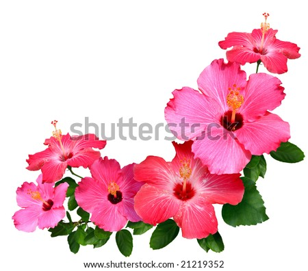 Pink and red Hibiscus flowers isolated in white with copy space