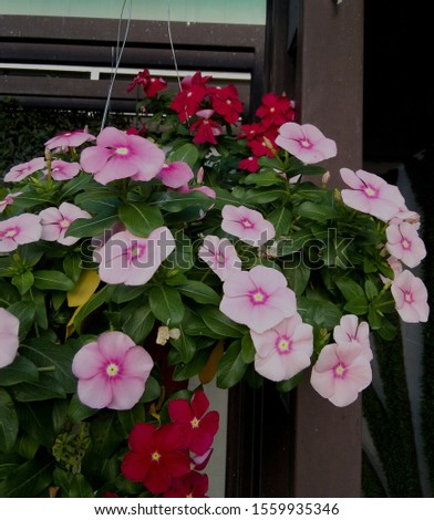 Pink and red of Madagascar periwinkle, Madagascar periwinkle, Catharanthus roseus, Vinca flower plant in hanging flower pot.