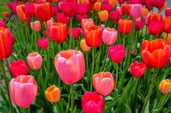 Pink and red tulip display at annual tulip festival in Albany, New York.