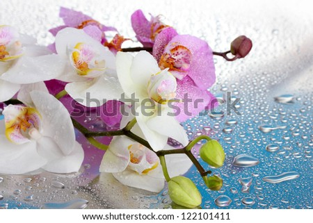pink and white beautiful orchids with drops on blue background