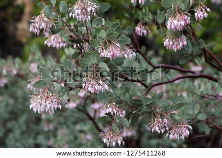 Pink And White Blossoms From Manzanita Shrub With Green Leaves And Red Barked Branches