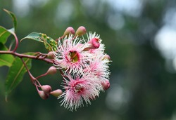 Pink and white blossoms of the Australian native gum tree Corymbia Fairy Floss, family Myrtaceae. Grafted cultivar of Corymbia ficifolia which is endemic to Western Australia
