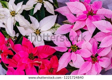Pink and white christmas poinsettia flower star. Princettia Poinsettia ( Euphorbia pulcherrima ) Christmas Star, close up