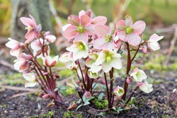 Pink and white Christmas rose or hellebore, Helleborus niger plant growing in a garden, UK