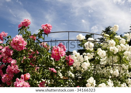 Pink and white. Climbing roses around their support. Rose Garden in the Oeste park, Madrid - Spain