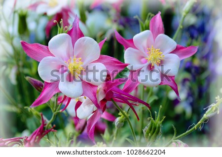 pink and white columbine flowers