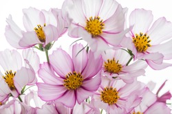 Pink and White Cosmos Flower on Light Background