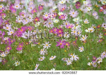 Pink and white cosmos flowers are in full bloom