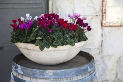 pink and white cyclamens in bowl on barrel as a decoration near stone wall